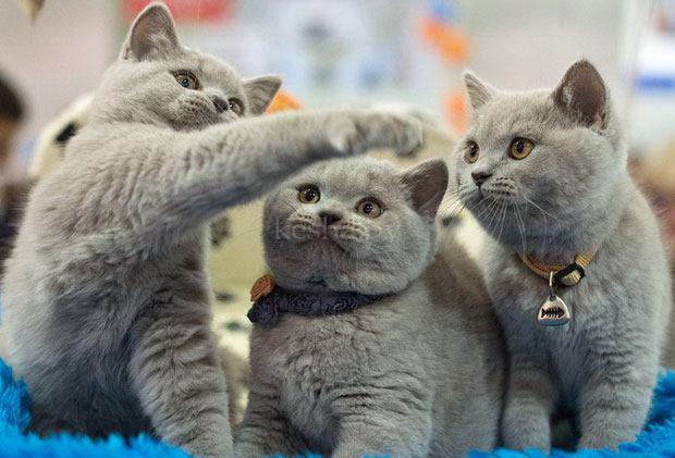 Выставка британских кошек