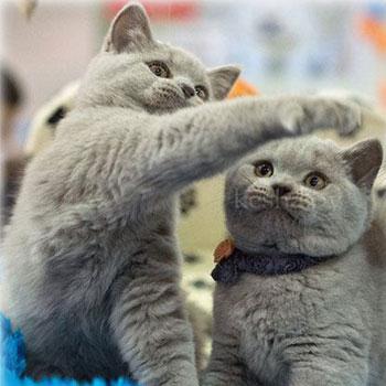 Выставки кошек в Бресте